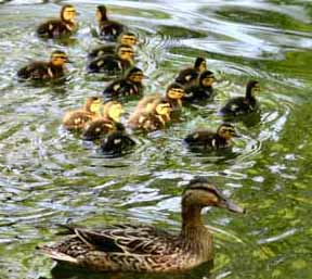 ducklings_sm_2