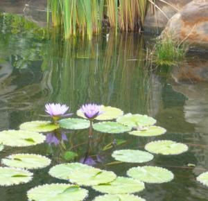lilies4a